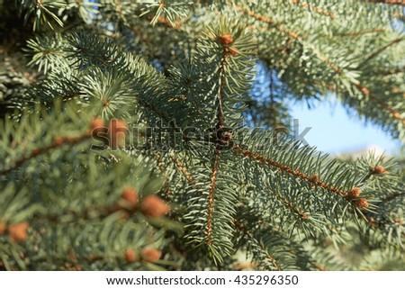 spruce spring       #435296350