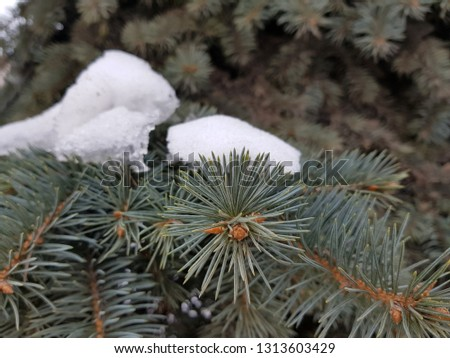 Spruce - spruce and pine branch in the snow in winter #1313603429