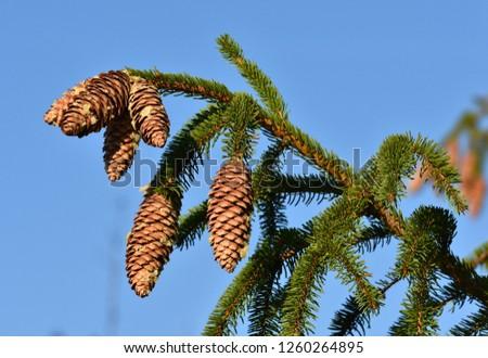 spruce, spruce cone #1260264895