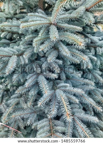 Spruce tree, fir, fir-tree, conifer #1485559766
