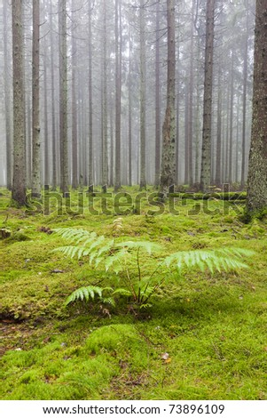 Spruce tree in the forest with morning mist and Bracken plant