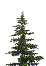 spruce tree isolated