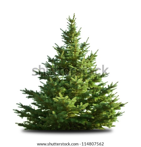 spruce tree isolated on white #114807562