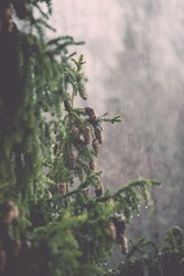 spruce tree with cones in the misty rainy weather in country - retro vintage film effect