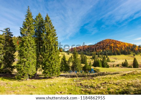 spruce trees in the valley in autumn. beautiful landscape in mountains. gorgeous light and mood, wonderful day spent outdoors in nature #1184862955