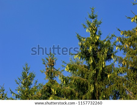 spruce with young cones