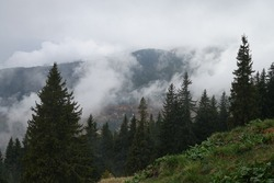 Spruces with mists in the background