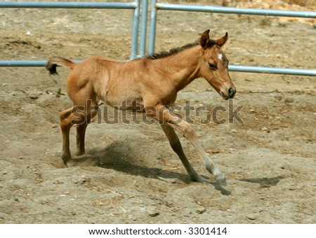 spunky young foal in corral