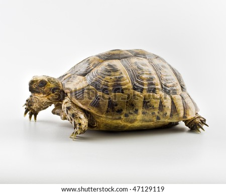 Spur-thighed Tortoise isolated on white