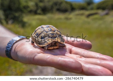 Spur-thighed tortoise or Greek tortoise (Testudo graeca) hiding in its shell because it is lifted up on the hand of a herpetologist researcher
