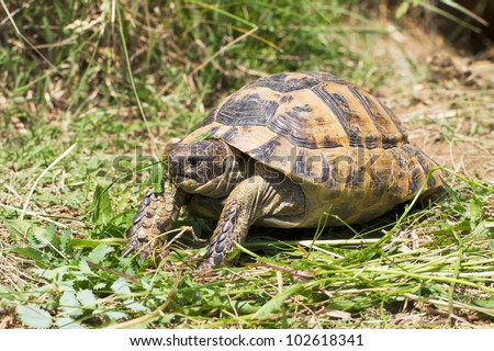 spur-thighed turtle eating grass / Testudo graeca ibera