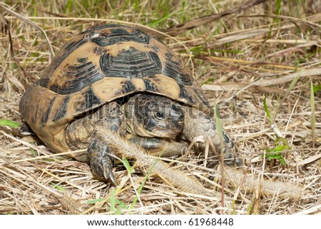 spur-thighed turtle on the grass / Testudo graeca ibera