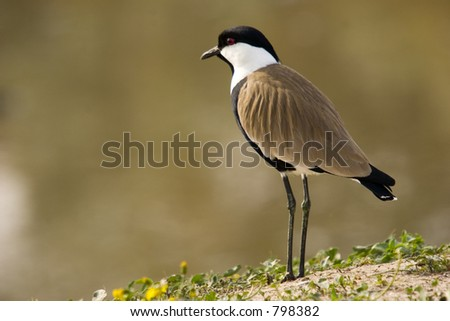 Spur winged plover A common bird in Israel