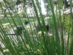 Spying on cat while cat spies on me through the stalks of chives in herb garden