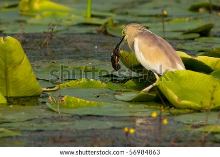 Squacco Heron (ardeola ralloides) with a frog in beak