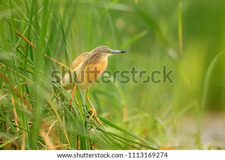 Squacco Heron, Ardeola ralloides, yellow water bird in the nature, water green grass in the background, Hungary.