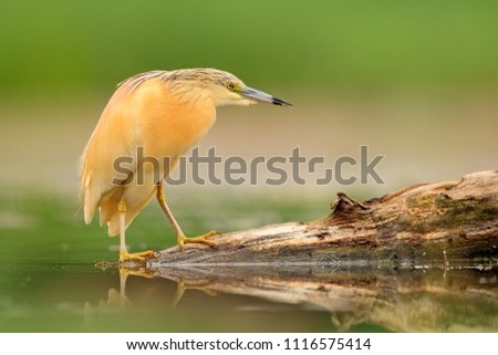 Squacco Heron, Ardeola ralloides, yellow water bird in the nature, water green grass in the background, Hungary. Animal in the lake habitat.