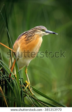 Squacco Heron, Ardeola ralloides, yellow water bird in the nature water green grass, nature habitat from Hungary.