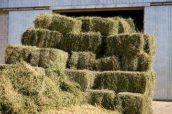 Square bales of alfalfa hay for cattle are lying on the field. Alfalfa Field with Small Square Bales