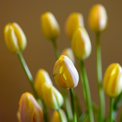 Square closep-up image of closed yellow tulips fresh spring bouquet. Blurred brown background with yellow tulips and green stems. Romantic lighting. Elegant   flower decoration. Studio photography.