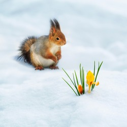 square festive natural background with cute fluffy squirrel sitting on white snow next to a yellow Crocus flower in a spring Park
