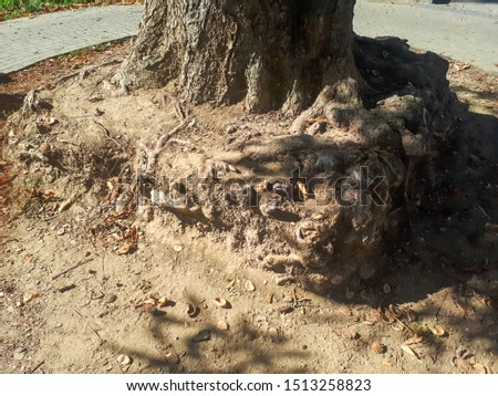 Square formation of tree roots, now exposed, but formed from a previous paving. #1513258823