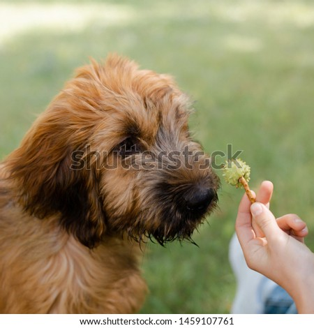 Square image of a puppy briard on the meadow  #1459107761