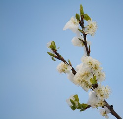 Square image of snow-covered plum blossom on a cold, wintry day in spring against a clear blue sky