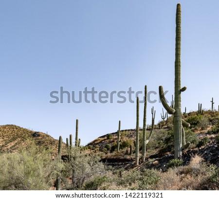 Square picture of a landscape of Saguaro Cacti (scientific name Carnegiea gigantea) in Cave Creek, Arizona.