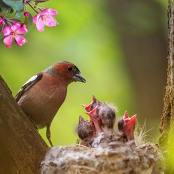 square portrait of a songbird male Finch feeding its hungry Chicks in a nest in a spring blooming may garden