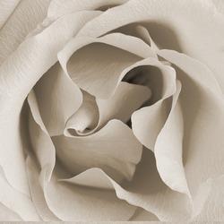 Square retro texture with rose bud half open