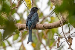 Square-tailed Drongo-Cuckoo looking for food.