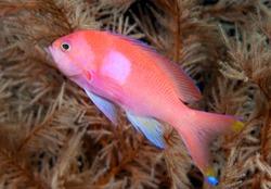 Squarespot anthias or Pink square anthias (Pseudanthias pleurotaenia), Indonesia