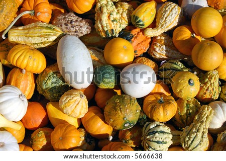 squash and pumpkins for Halloween and Thanksgiving