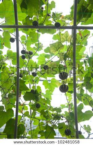 Squash plant (variety Harrier)pumpkins #102481058