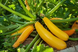 Squash plant with blossoms, yellow zucchini in the garden, organic vegetables.Courgette plant (Cucurbita pepo) with yellow fruits growing in the garden bed outdoors