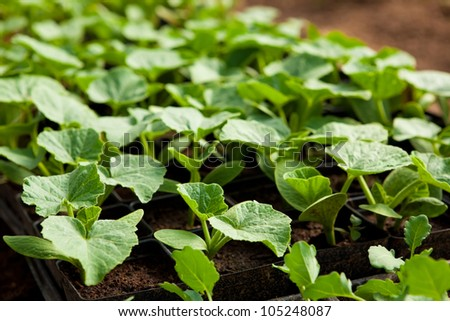 Squash seedlings in trays at an organic farm