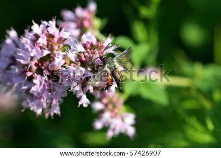 Squash Vine Borer Moth - Melittia cucurbitae