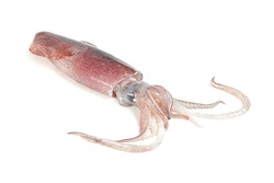 squid isolated on white background