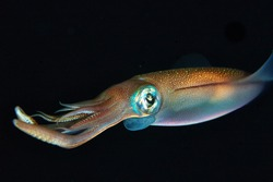 Squid on black background. Sea life. Macro nature. Squid macro