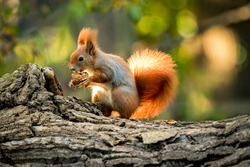 Squirrel animal in natural environment