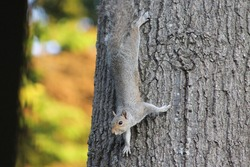 Squirrel blending in and climbing down tree with colorful foliage in background