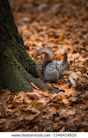 Squirrel chews a piece of ice on the root of the tree. Photo in the autumn Park