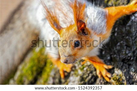 Squirrel cute face portrait view. Cute squirrel face. Squirrel. Squirrel eye #1524392357