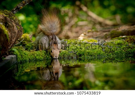 squirrel drinks water