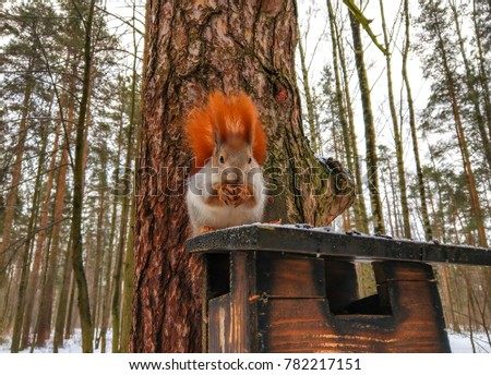 Squirrel eat nut on pine tree in winter snow forest landscape #782217151