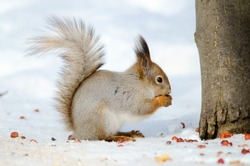 Squirrel eat nuts. Side view. Russian nature