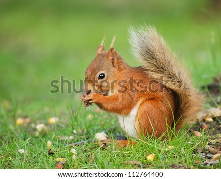 Squirrel eating food on the ground