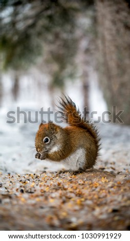 Squirrel eating in winter