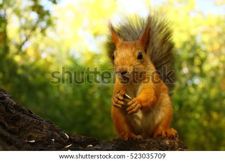 Squirrel eating nut and sunflower seeds on the tree #523035709
